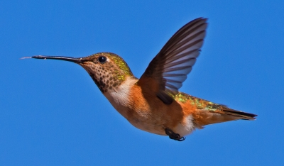 Rufous Hummingbird About To Feed