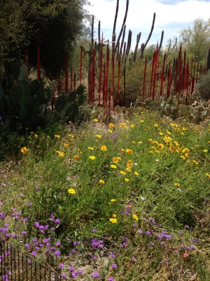 Wild Flowers In Desert Botanical Garden With Chihuly Exhibit