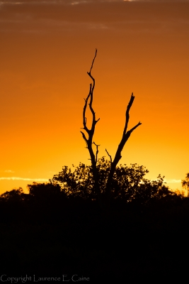 Dead Tree Silhouette Before Dawn