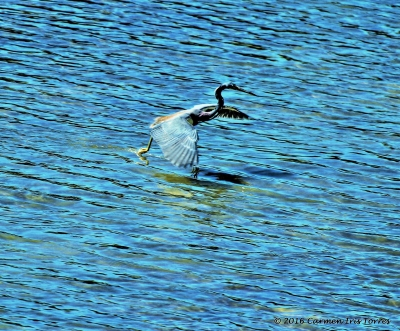 Little Blue Herron