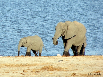 Mother And Baby Elephant At The Watering Hole