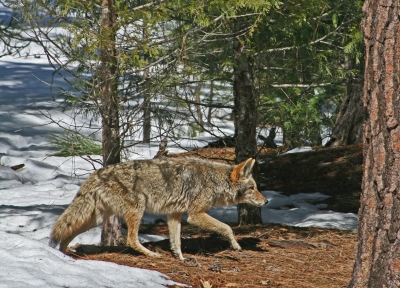 Coyote On The Hunt – Yosemite Valley