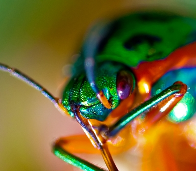 Rainbow Shield Bug