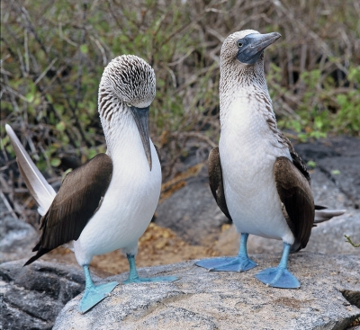 Blue-footed Boobies, The Galapagos
