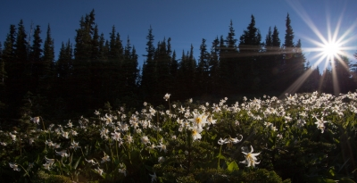Avalanche Lilies At Dawn, Obstruction Point, Olympic National Park