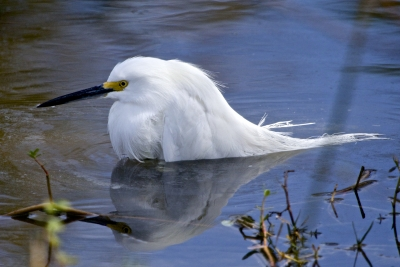 I Need Longer Legs – Snowy Egret Shot