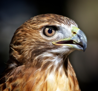 Red-tailed Hawk Close-up