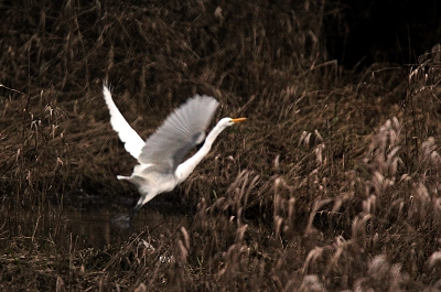 Great White Egret – Take Off!