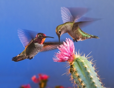 Two Anna's Hummingbirds And Cactus