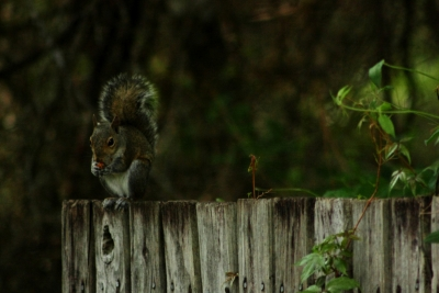 Squirel On A Gate