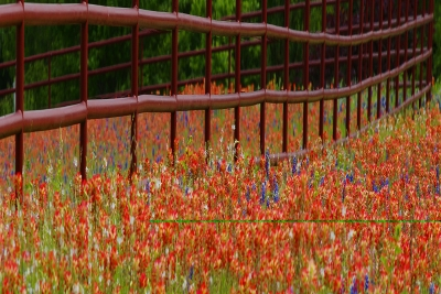 Bluebonnets And Paintbrush Fence