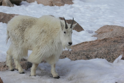 White Mountain Goat