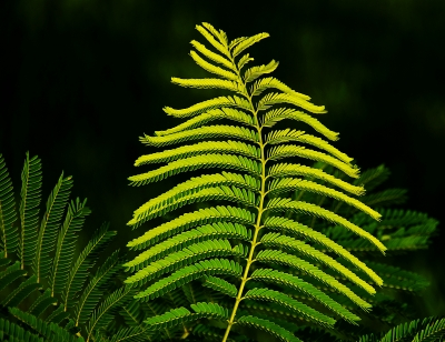 Poinciana Leaf