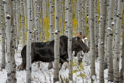 Bull Moose In Autumn Forest