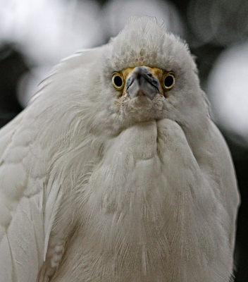 Direct Eye Contact With An Egret
