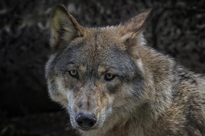 Great Lakes Wolf