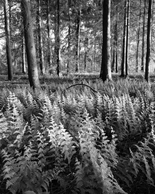 Ferns And Forest
