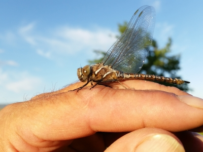 Dragonfly Friend