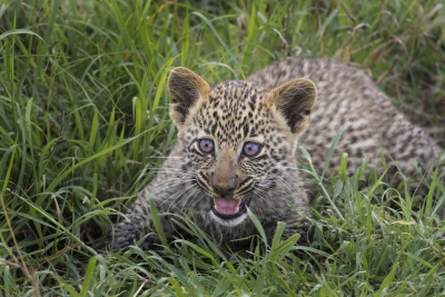 Leopard Cub On The Prowl