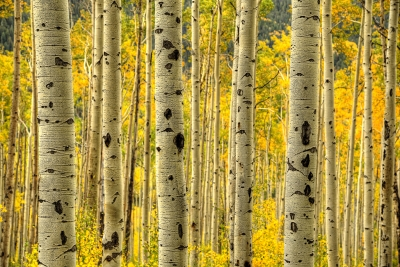 Aspen Trees Independence Pass