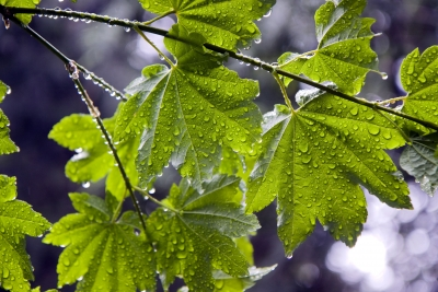 Raindrops And Maple Leaves