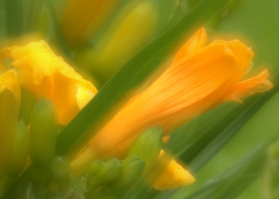 Double Exposure Yellow Lilly
