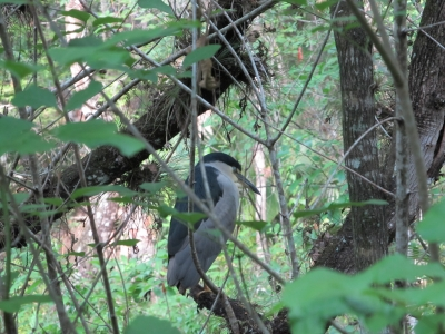 Night Heron In A Florida Park