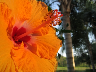 Orange Hibiscus And Palm Tree