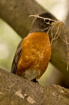 Robin With Nest Building Material