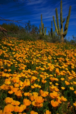 Granite Mountain Poppies #2