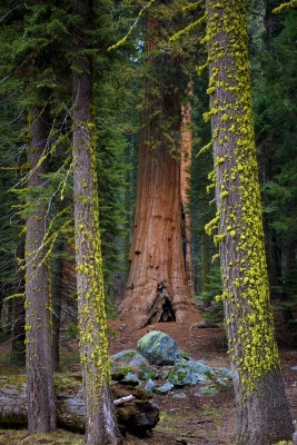 Framed Sequoia
