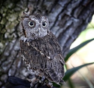 Screech Owl In A Tree
