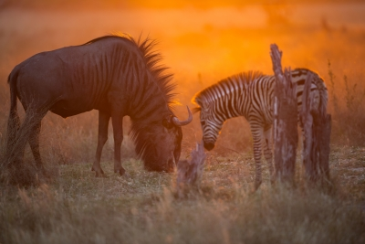 Wildebeest And Baby Zebra Share A Moment.