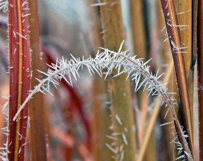Hoarfrost On Pampas Grass