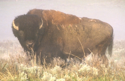 Bison 6am Yellowstone National Park
