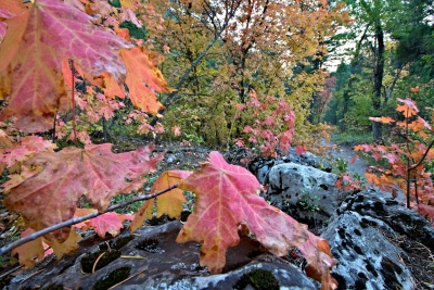 Red Mountain Maple, Rock, Lichen
