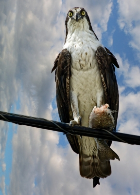 Osprey With His Fish Catch