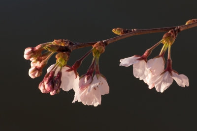 Cherry Blooms In The Morning Sun