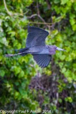 Little Blue Heron On A Mission