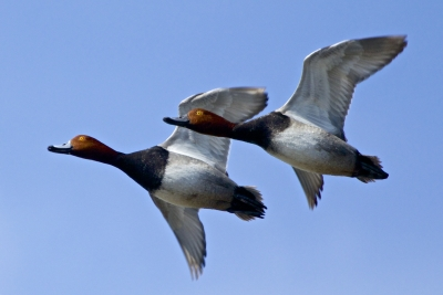 Redheaded Ducks In Formation