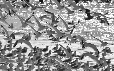 Ring-billed Gull Cacophony