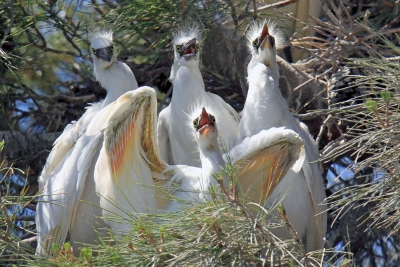 Hungry Young Egrets
