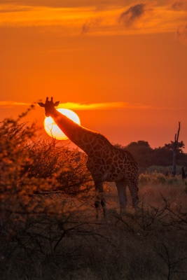 Giraffe At Dawn.