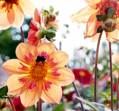 Orange Dahlias With Bumblebee