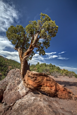 Twisted Tree In The Garden Of The Gods