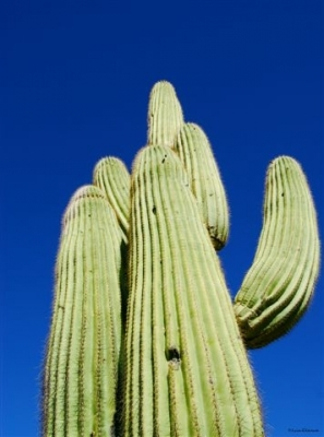 Arizona Saguaro
