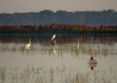 Egrets In Crawfish Field