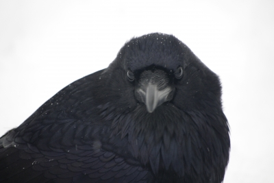 Raven In Yellowstone National Park New Years Day 2011