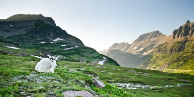 Mountain Goat At Logan Pass – Glacier Np, Montana