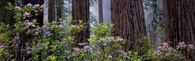 Redwoods & Rhodies